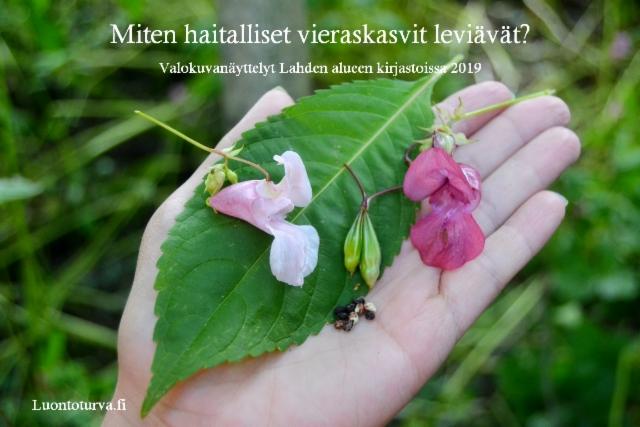 miten_haitalliset_vieraskasvit_leviavat_luontoturva.fi