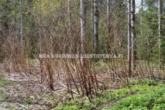 0830_japanintataren_kuivuneet_varret_miia_korhonen_luontoturva.fi