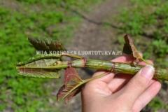 0832_japanintataren_varsi_kevaalla_miia_korhonen_luontoturva.fi