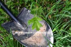 0837_jattiputken_taimi_muun_kasvillisuuden_seassa_miia_korhonen_luontoturva.fi