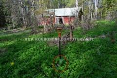 0838_jattiputki_vuohenputken_joukossa_autioituneessa_pihapiirissa_miia_korhonen_luontoturva.fi_1