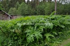 0843_jattiputki_leviaa_siemenesta_miia_korhonen_luontoturva.fi