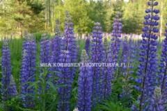 0844_komealupiini_leviaa_siemenesta_miia_korhonen_luontoturva.fi