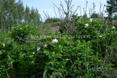 0855_kurtturuusu_rosa_rugosa_alba_valkoinen_kukka_miia_korhonen_luontoturva.fi