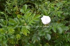 0856_rosa_rugosa_alba_miia_korhonen_luontoturva.fi