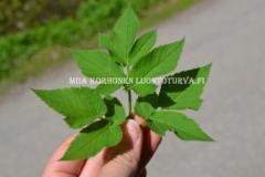 0865_vuohenputken_lehti_miia_korhonen_luontoturva.fi