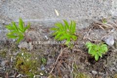 0868_vuohenputket_kasvuun_lahdossa_miia_korhonen_luontoturva.fi