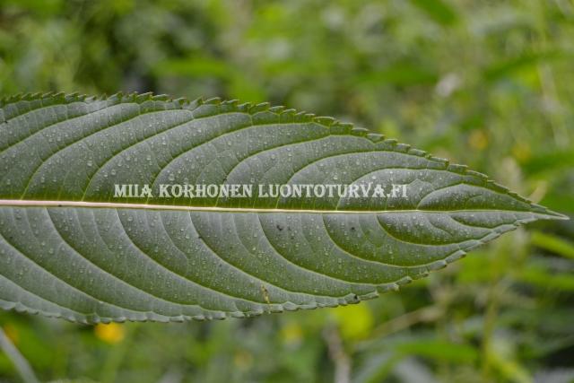 0869_jattipalsamin_lehden_reuna_on_sahalaitainen_miia_korhonen_luontoturva.fi