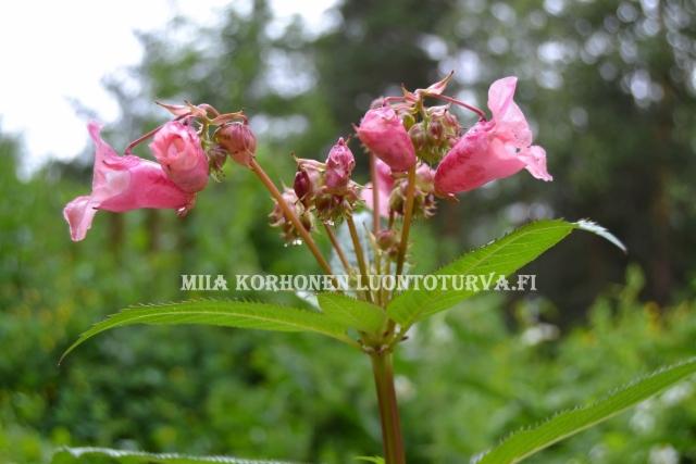 0870_jattipalsamin_kukintaa_miia_korhonen_luontoturva.fi