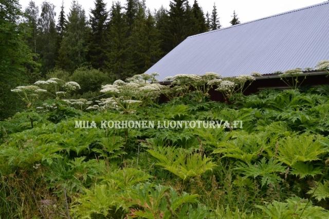 0873_jattiputki_vallannut_asumattoman_kiinteiston_miia_korhonen_luontoturva.fi