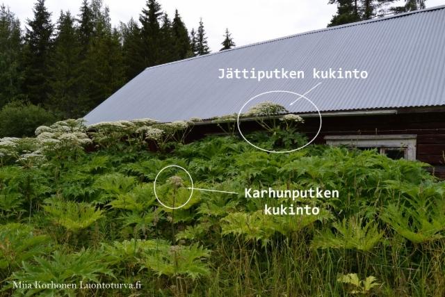 0875_jattiputken_ja_karhunputken_kukinto_miia_korhonen_luontoturva.fi