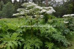 0876_jattiputki_haitallinen_vieraskasvi_miia_korhonen_luontoturva.fi