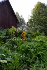 0897_esta_jattiputken_leviaminen_poistamalla_kukinnot_miia_korhonen_luontoturva.fi