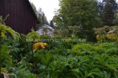 0898_jattiputki_leviaa_siemenista_poista_kukinnot_miia_korhonen_luontoturva.fi