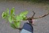 0926_japaninruttojuuri_on_haitallinen_vieraskasvi_miia_korhonen_luontoturva.fi