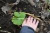 0927_japaninruttojuuren_juuri_miia_korhonen_luontoturva.fi
