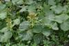 0928_japaninruttojuuri_kukka_ja_lehti_miia_korhonen_luontoturva.fi