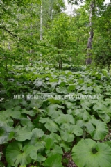 0930_japaninruttojuurella_on_iso_lehti_miia_korhonen_luontoturva.fi