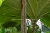 0931_japaninruttojuuri_lehti_miia_korhonen_luontoturva.fi