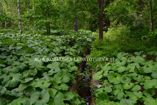 0932_japaninruttojuuri_leviaa_miia_korhonen_luontoturva.fi