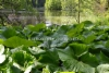 0933_japaninruttojuuri_haitallinen_vieraslaji_miia_korhonen_luontoturva.fi