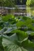 0934_japaninruttojuuri_miia_korhonen_luontoturva.fi