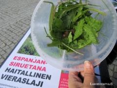 tiedotusta_espanjansiruetana_haitallinen_vieraslaji_luontoturva.fi