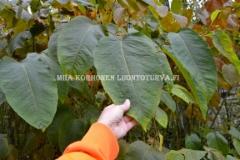 0942_sahalinintatar_lehti_miia_korhonen_luontoturva.fi