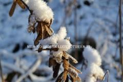 0950_lupiinin_siemenkodat_talvella_miia_korhonen_luontoturva.fi