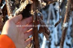 0949_royhytataren_varsi_talvella_miia_korhonen_luontoturva.fi