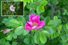 0962_kurtturuusu_rosa_rugosa_ja_rosa_rugosa_alba_miia_korhonen_luontoturva.fi
