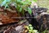 0966_jattipalsami_leviamisen_vaylat_miia_korhonen_luontoturva.fi