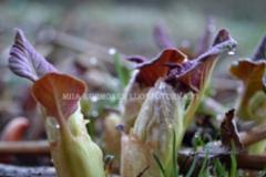 0971_royhytatar_ala_paasta_puutarahankasveja_leviamaan_luontoon_miia_korhonen_luontoturva.fi