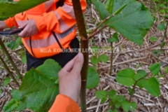 0997_japanintataren_varsi_punavihrean_laikukas_miia_korhonen_luontoturva.fi