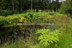 1014_jattiputki_leviaa_siemenesta_miia_korhonen_luontoturva.fi