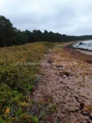1037_kurtturuusu_on_haitallinen_vieraskasvi_miia_korhonen_luontoturva.fi