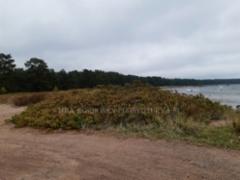 1038_kurtturuusu_leviaa_siemenista_lintujen_mukana_uusille_alueille_miia_korhonen_luontoturva.fi