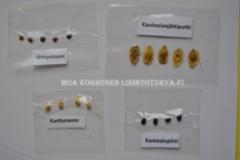 1040_siemenesta_leviavia_haitallisia_vieraskasveja_miia_korhonen_luontoturva.fi