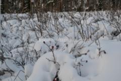 1044_kurtturuusupensaat_talvella_miia_korhonen_luontoturva.fi