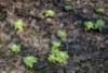 1054_japaninruttojuuri_lahtee_aikaisin_kasvuun_miia_korhonen_luontoturva.fi