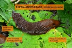 1065_tunnista_espanjansiruetana_miia_korhonen_luontoturva.fi