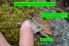 1067_tunnista_metsaetana_joka_ei_ole_haitallinen_miia_korhonen_luontoturva.fi