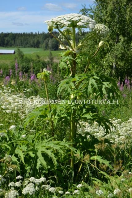 1070_kukkiva_jattiputki_miia_korhonen_luontoturva.fi