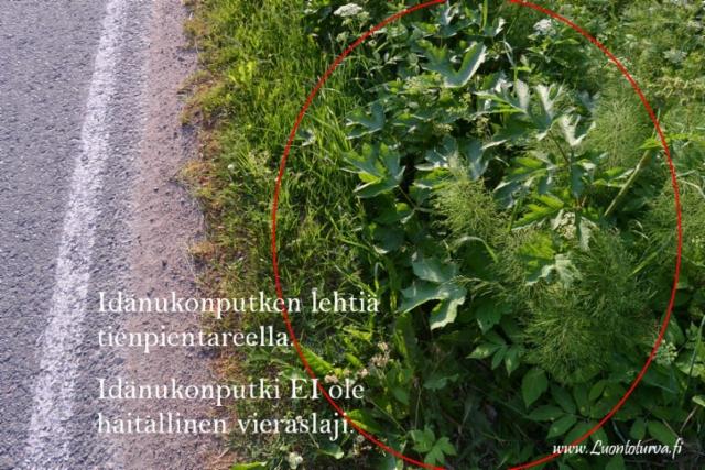 1072_idanukonputki_ei_ole_haitallinen_vieraslaji_miia_korhonen_luontoturva.fi