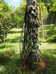kaveleva palmu