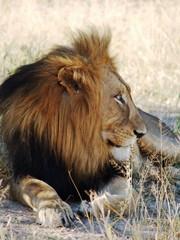 leijonauros