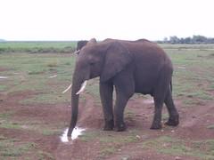 Norsu Amboselissa