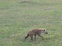 Hyeena savannilla