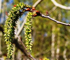 keväinen norkko ja leppäkerttu