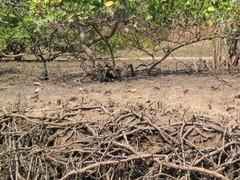 Vilkuttajarapuja Mangrovemetsön juurakoissa